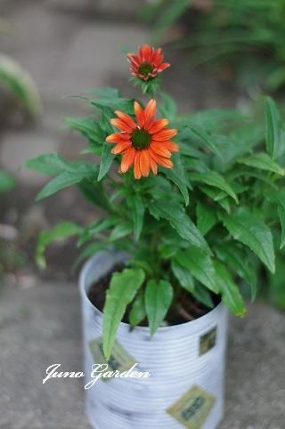 オレンジエキナセア190620