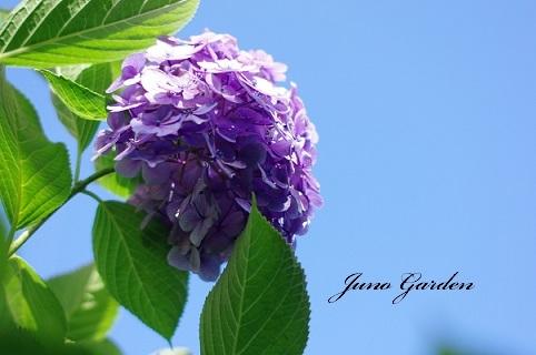紫陽花190326