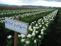 2019-04-27道の駅米山チューリップ006