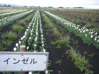 2019-04-27道の駅米山チューリップ010