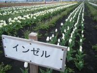 2019-04-27道の駅米山チューリップ008