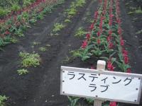 2019-04-27道の駅米山チューリップ015