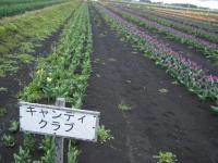 2019-04-27道の駅米山チューリップ041
