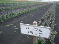 2019-04-27道の駅米山チューリップ037