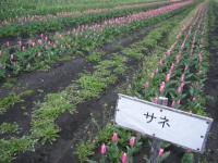 2019-04-27道の駅米山チューリップ045