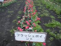 2019-04-27道の駅米山チューリップ053