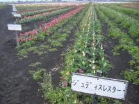 2019-04-27道の駅米山チューリップ051