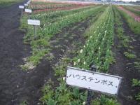 2019-04-27道の駅米山チューリップ049