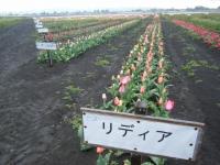 2019-04-27道の駅米山チューリップ055