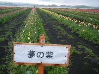 2019-04-27道の駅米山チューリップ066