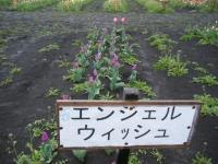 2019-04-27道の駅米山チューリップ065