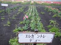 2019-04-27道の駅米山チューリップ064