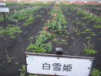 2019-04-27道の駅米山チューリップ063