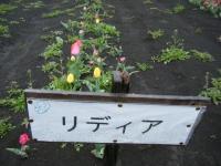 2019-04-27道の駅米山チューリップ061
