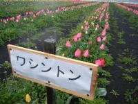 2019-04-27道の駅米山チューリップ070