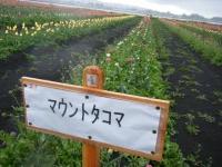 2019-04-27道の駅米山チューリップ069