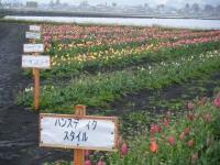 2019-04-27道の駅米山チューリップ067