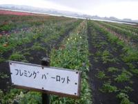2019-04-27道の駅米山チューリップ078