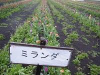 2019-04-27道の駅米山チューリップ076
