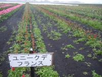 2019-04-27道の駅米山チューリップ074