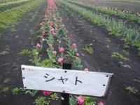 2019-04-27道の駅米山チューリップ083