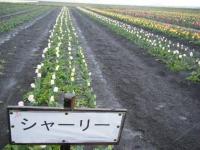 2019-04-27道の駅米山チューリップ090