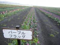2019-04-27道の駅米山チューリップ087