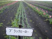 2019-04-27道の駅米山チューリップ085