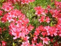 花と泉の公園・牡丹園007