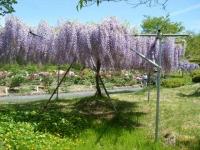 花と泉の公園・牡丹園015