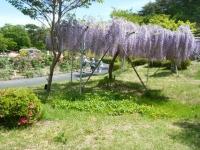 花と泉の公園・牡丹園016
