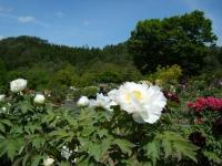 花と泉の公園・牡丹園020