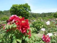 花と泉の公園・牡丹園021