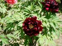 花と泉の公園・牡丹園022