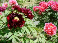 花と泉の公園・牡丹園023