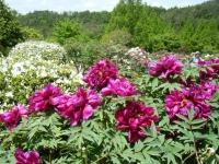 花と泉の公園・牡丹園024