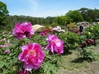 花と泉の公園・牡丹園028
