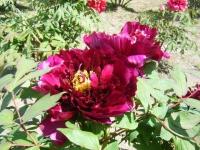 花と泉の公園・牡丹園029