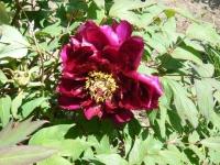 花と泉の公園・牡丹園030