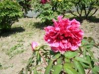 花と泉の公園・牡丹園031