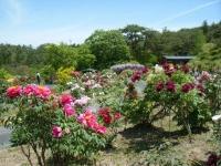 花と泉の公園・牡丹園032