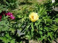 花と泉の公園・牡丹園033