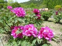 花と泉の公園・牡丹園034