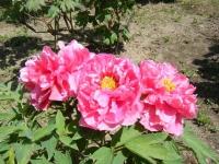 花と泉の公園・牡丹園036