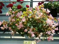 2019-05-18花と泉の公園ベゴニア館035