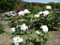 花と泉の公園・牡丹園037