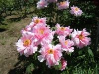 花と泉の公園・牡丹園038
