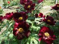 花と泉の公園・牡丹園039