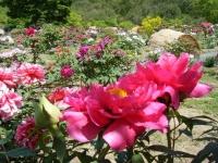 花と泉の公園・牡丹園041