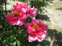 花と泉の公園・牡丹園042